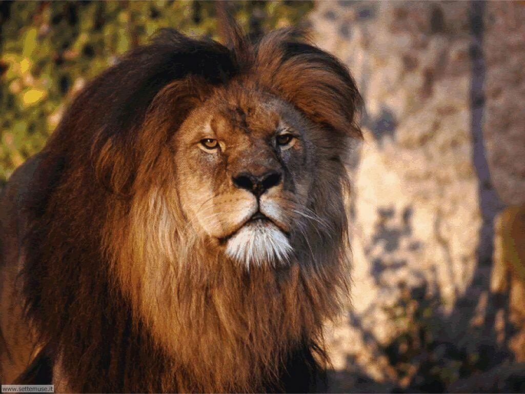 mammiferi/felini/leoni/leoni_040.jpg