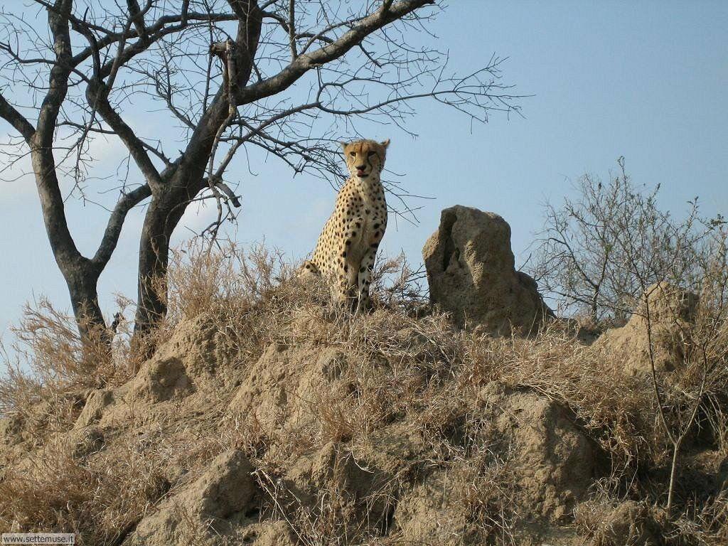 Foto di leopardo 004