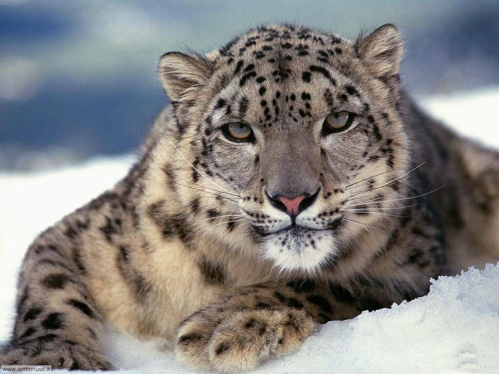 Foto di leopardo 005