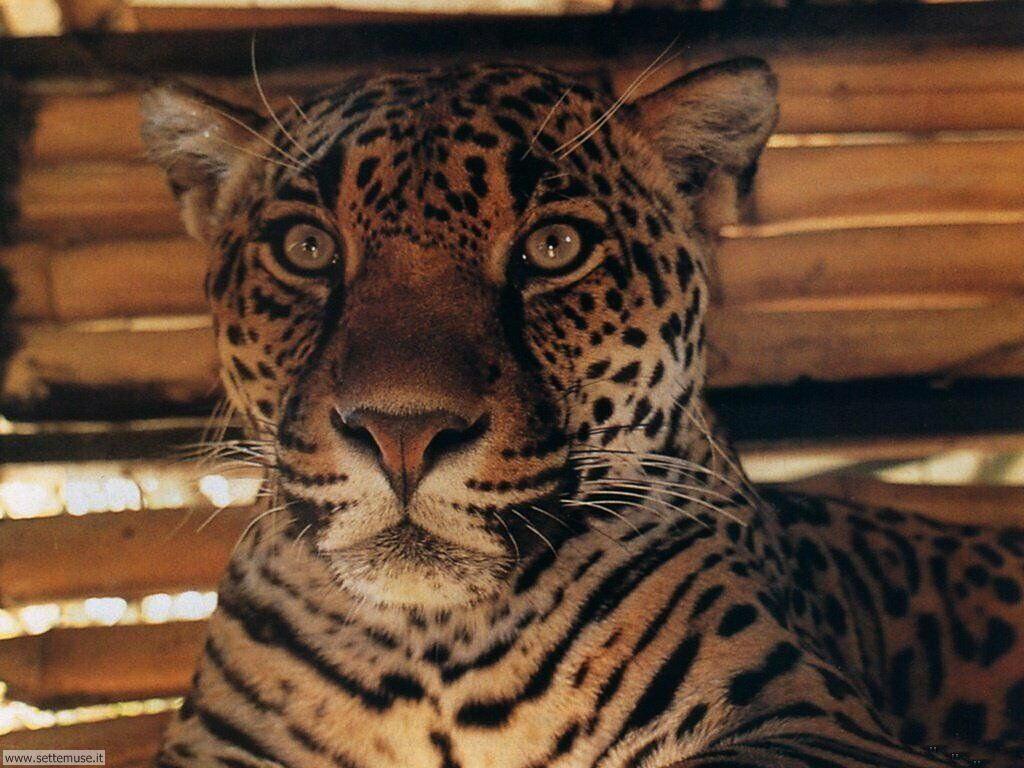 Foto giaguari ghepardi leopardi pantere per sfondi pc for Immagini tigre da colorare
