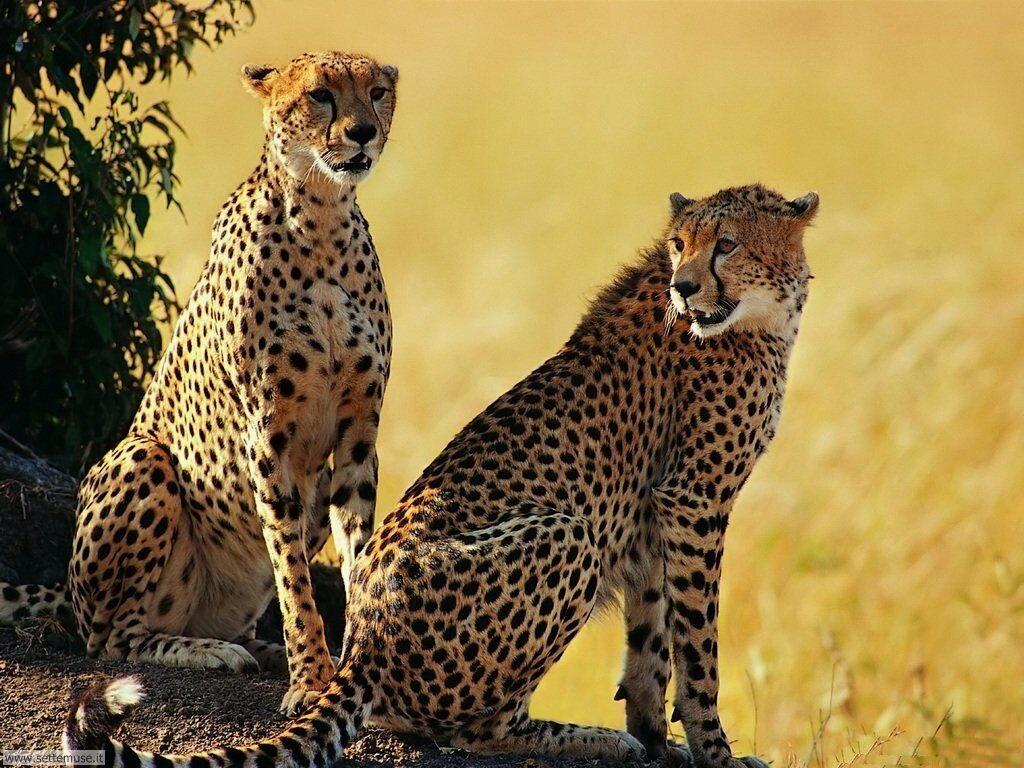 Foto di leopardo 007
