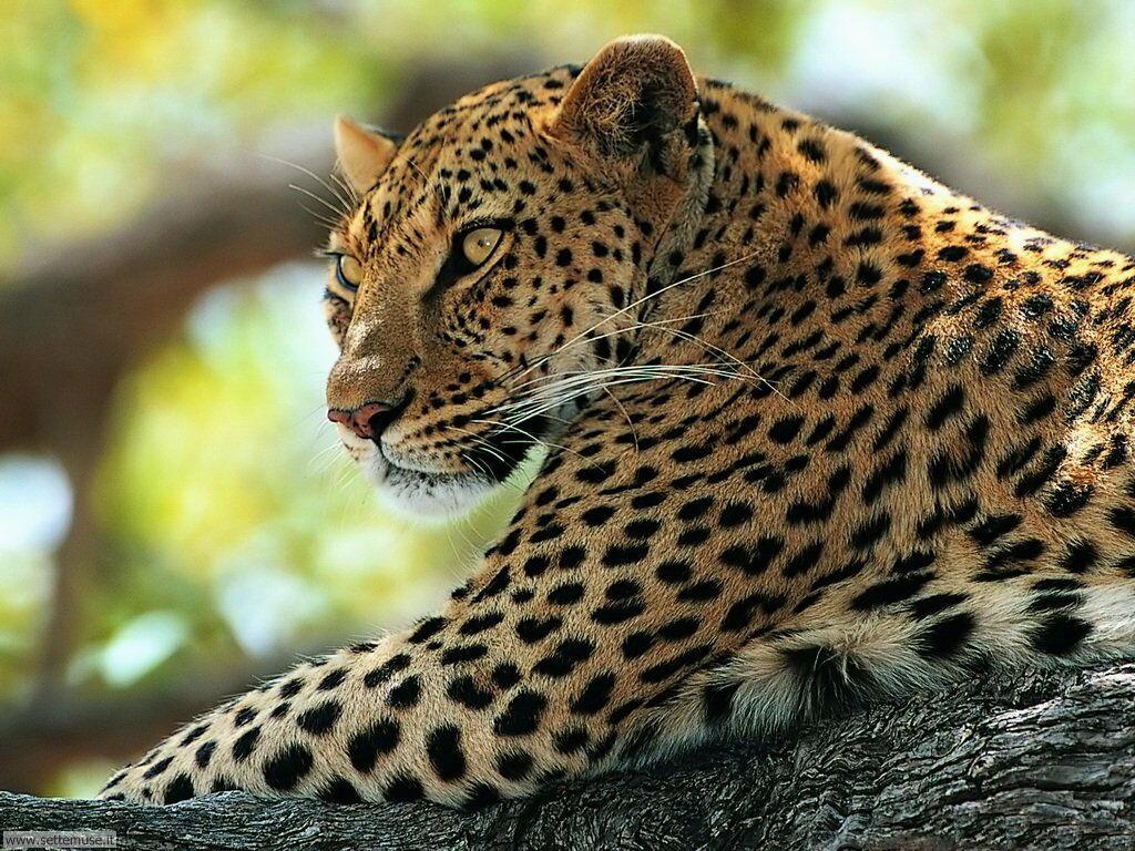 Foto di leopardo 008
