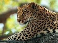 Foto sfondi ghepardi giaguari leopardi pantere