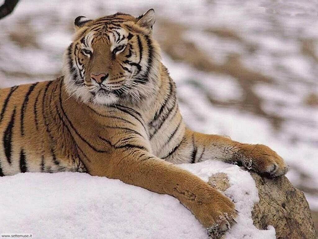 Foto di Tigri 005