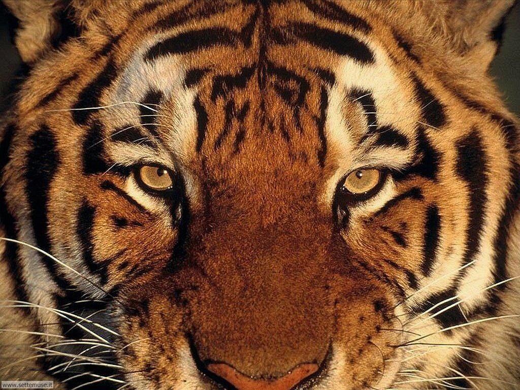Foto tigri per sfondi pc - Colorazione pagina di tigre ...
