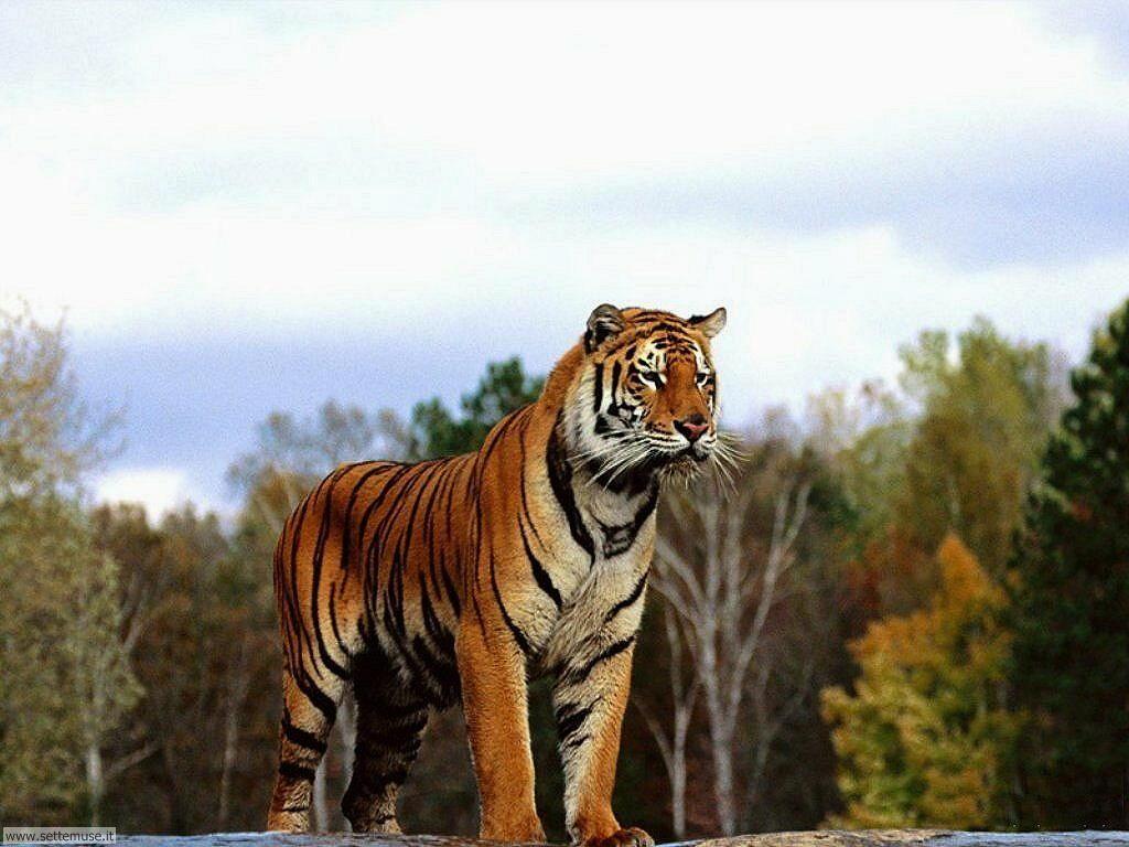 Foto di Tigri 015