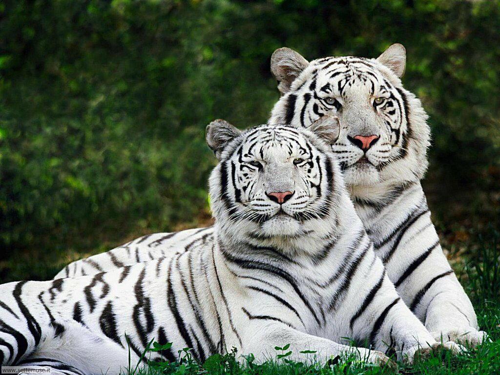 Foto di Tigri 036