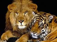 Foto sfondi tigri