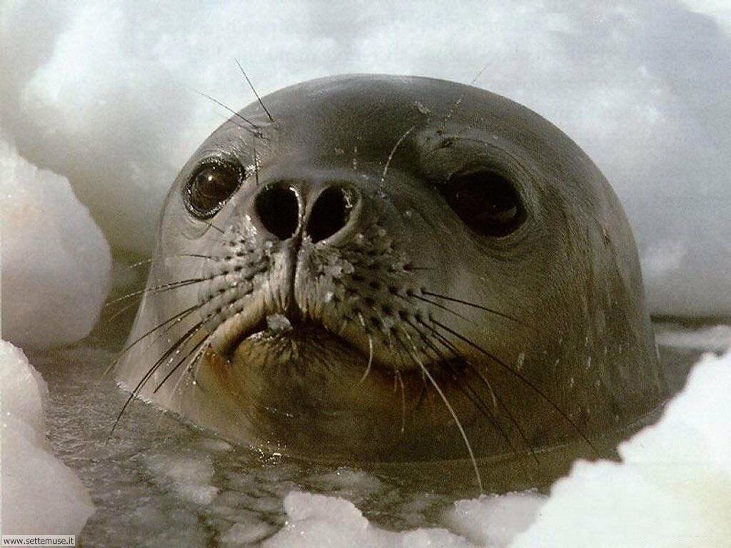 foto di foche e trichechi per sfondi
