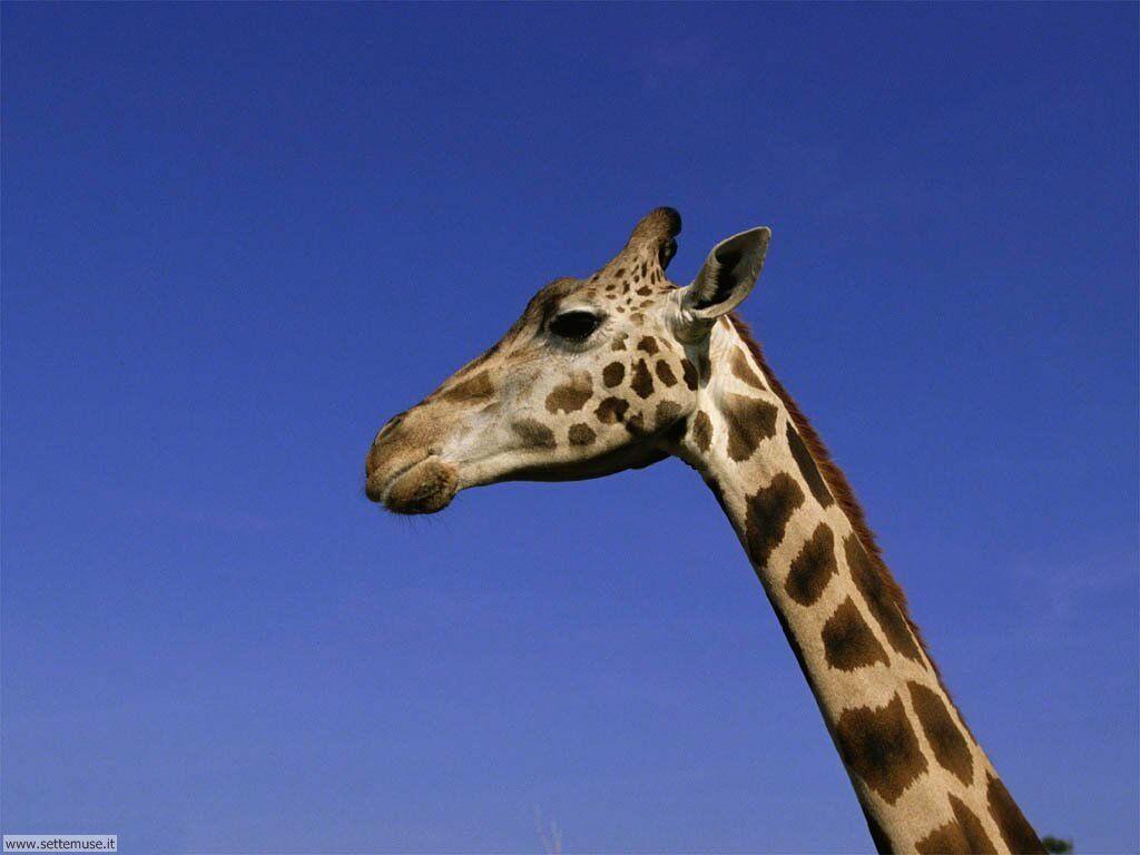 Foto di Giraffe 001