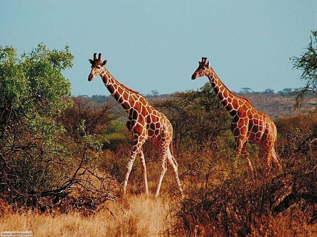 Foto di Giraffe 002