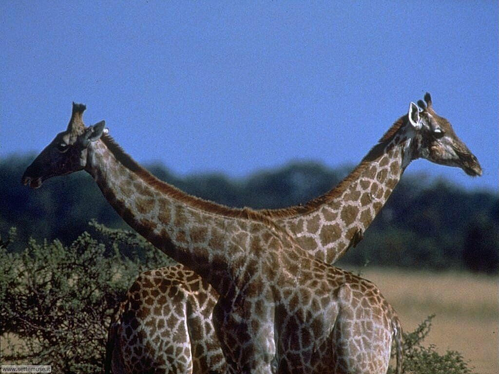 Foto di Giraffe 004
