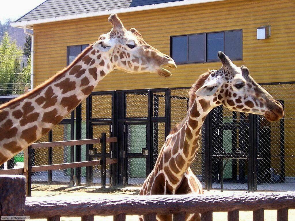 Foto di Giraffe 005