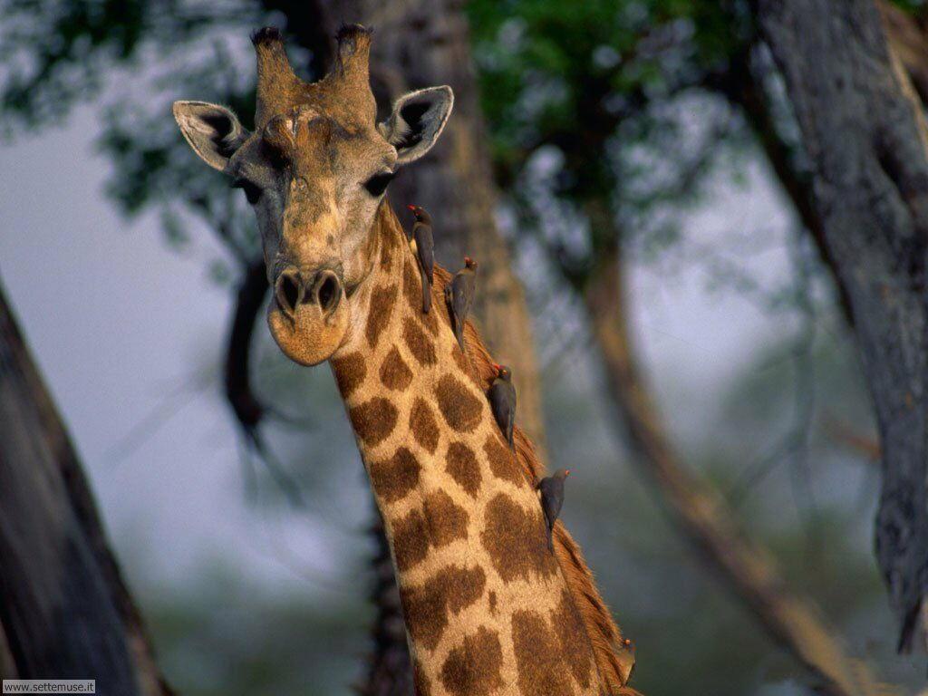 Foto di Giraffe 006