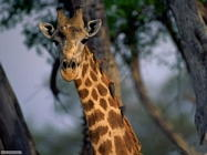 Foto sfondi giraffe