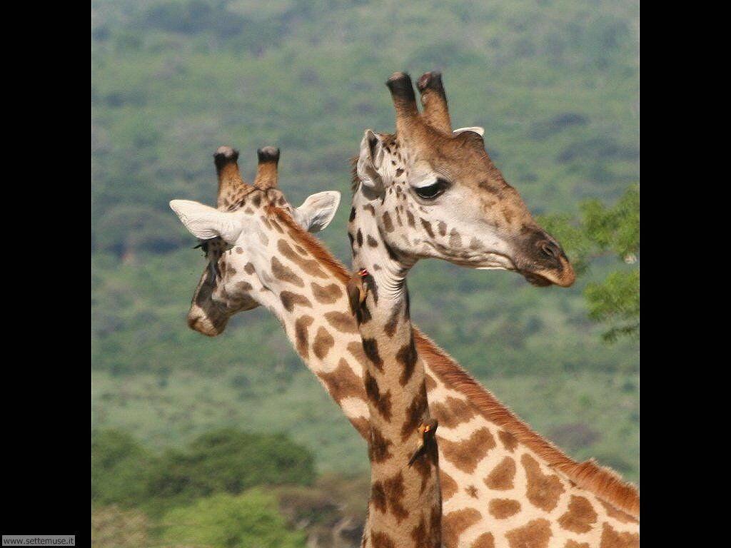 foto di giraffa o giraffe per sfondi