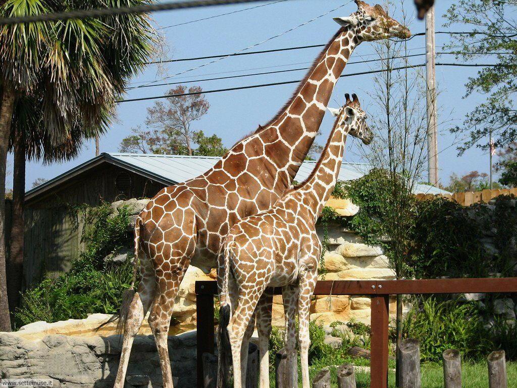 Foto giraffe per sfondi pc for Immagini giraffa per bambini