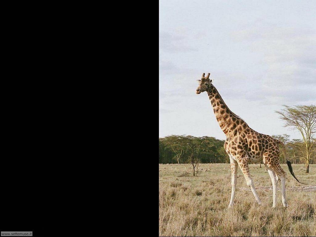 Foto di Giraffe 010