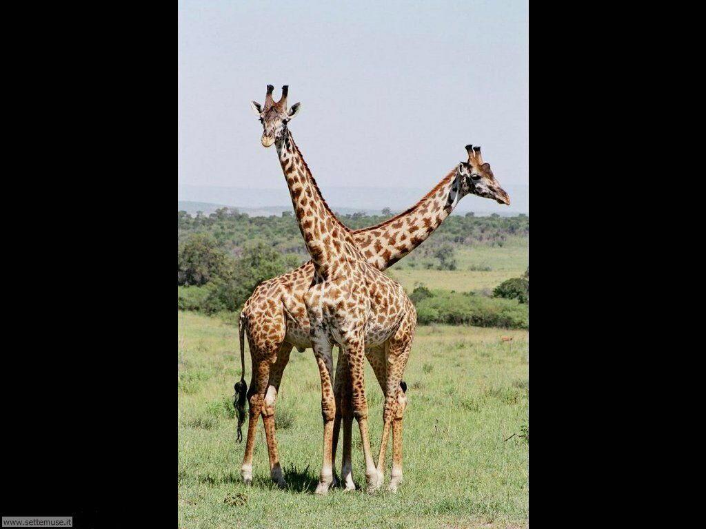 Foto di Giraffe 011