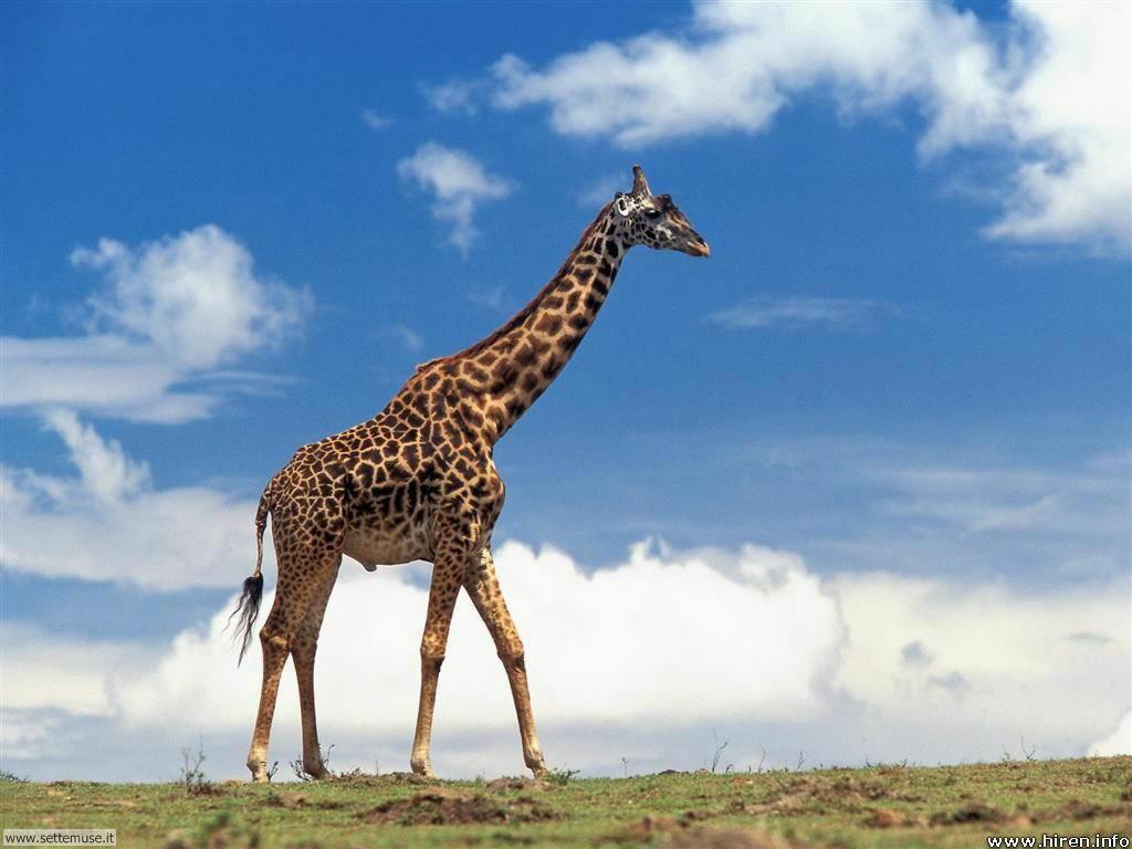 Foto di Giraffe 012