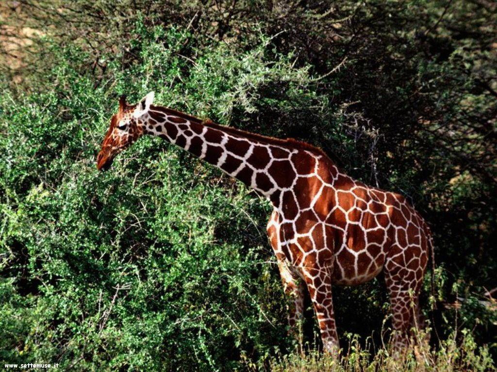 Foto di Giraffe 013