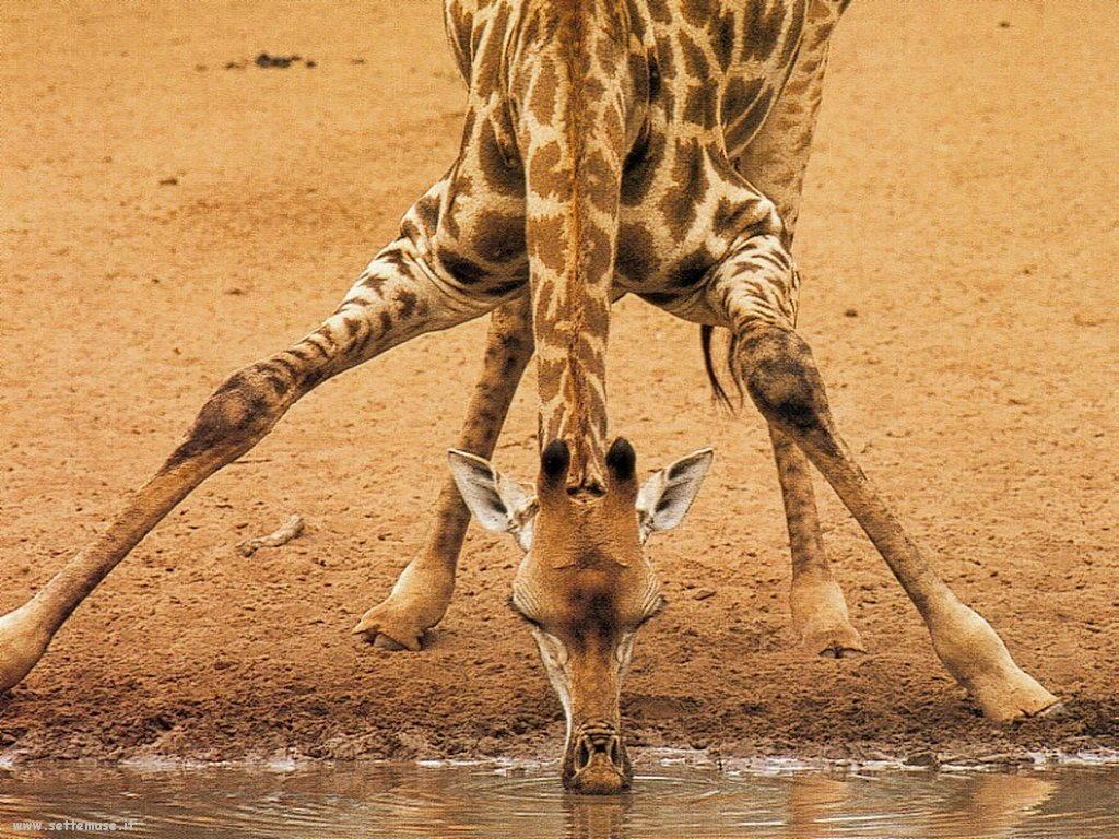 Foto di Giraffe 015