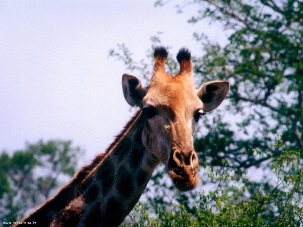 Foto di Giraffe 016