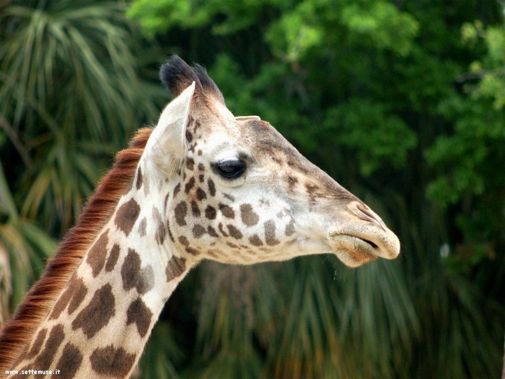 Foto di Giraffe 017
