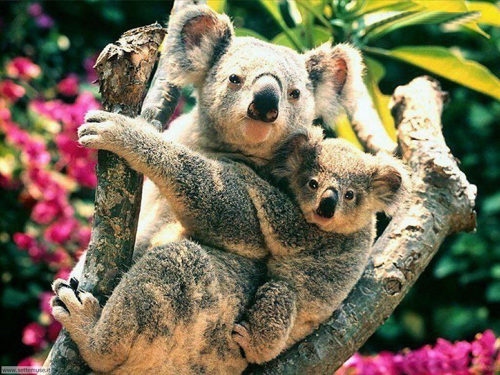 Foto di Koala 001