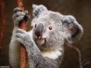 Foto sfondi koala