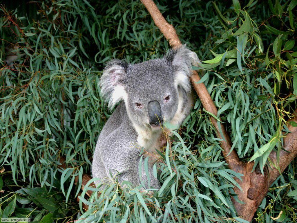 Foto di Koala 005