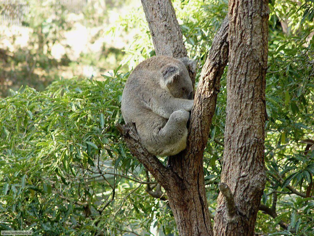 Foto di Koala 006