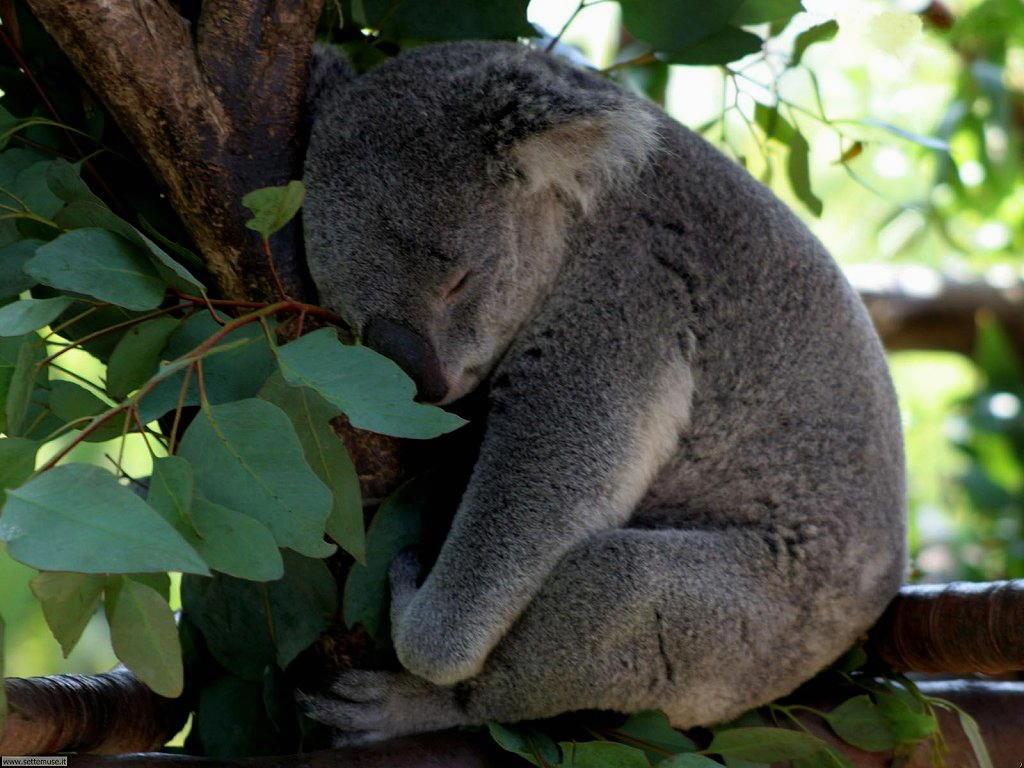 Foto di Koala 007