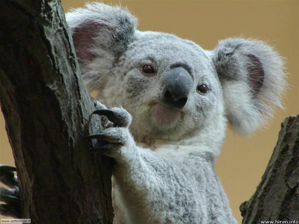 foto di koala per sfondi