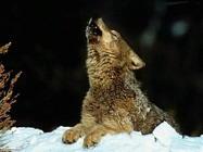 Foto sfondi lupi