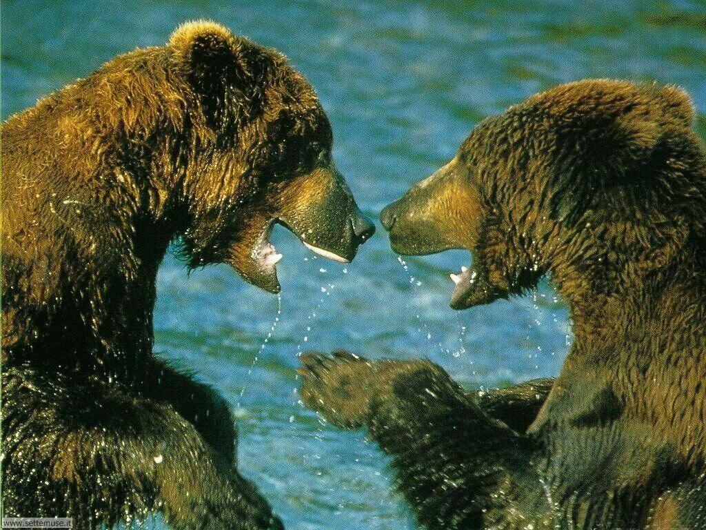 Foto di Orsi Grizzly 002
