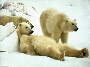 Foto sfondi orsi orsacchiotti