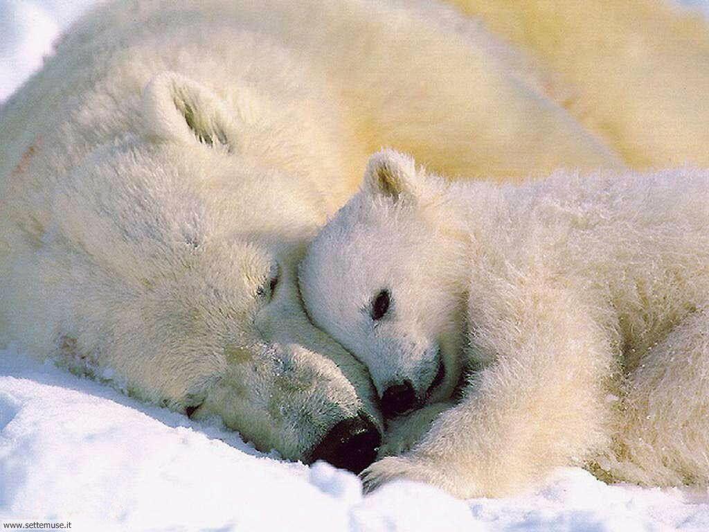 foto di orsi e orsetti per sfondi
