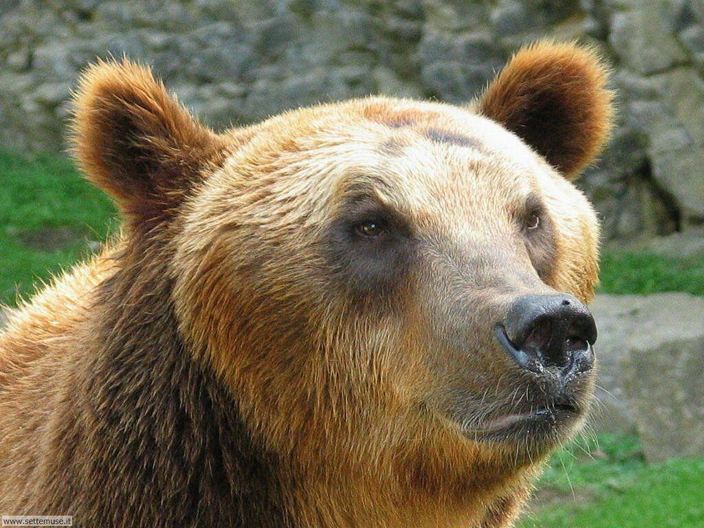 Foto di Orsi Grizzly 022
