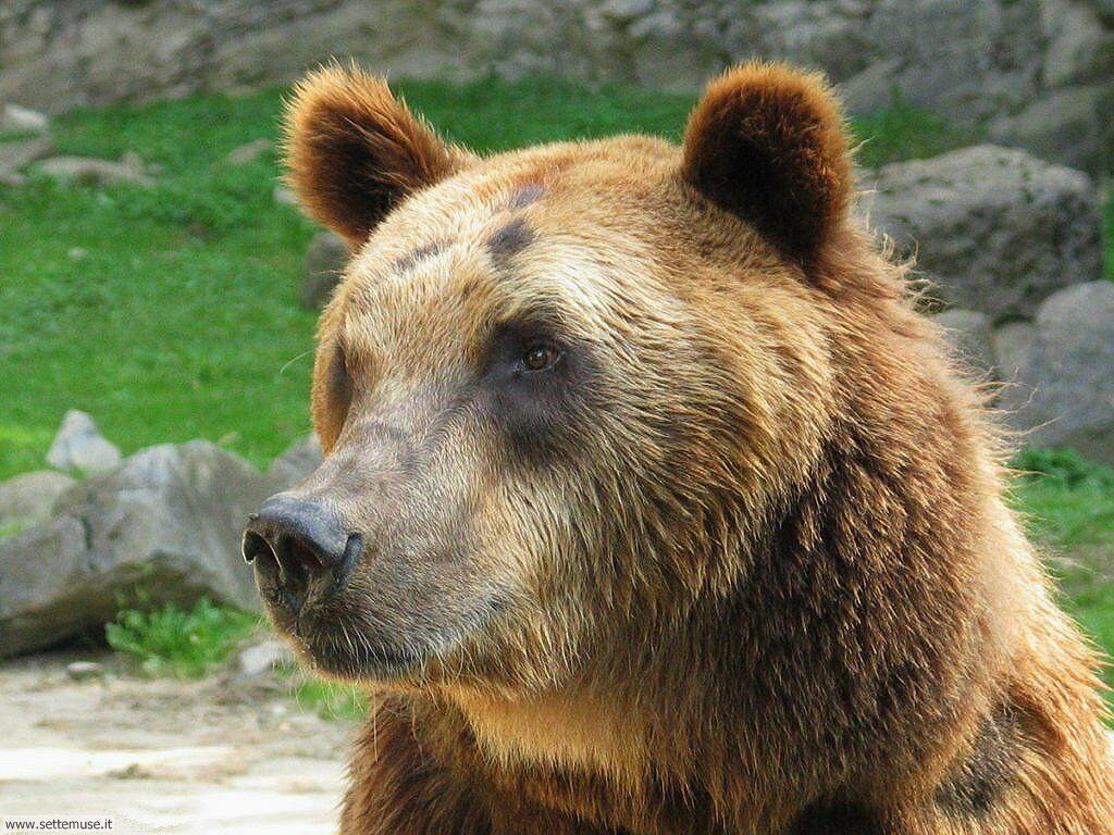 Foto di Orsi Grizzly 023