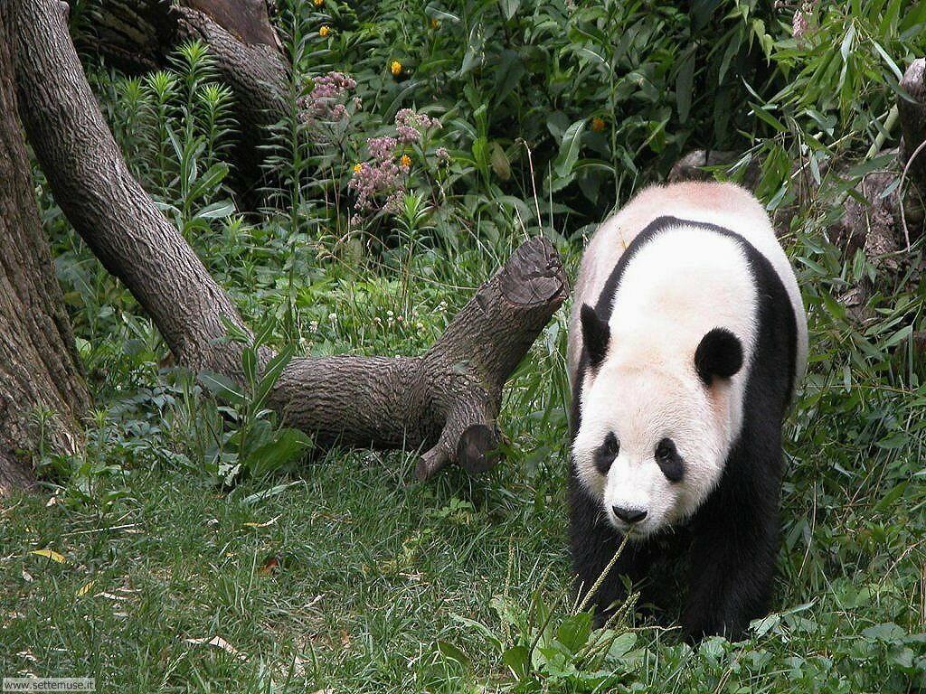 Foto di Panda 001