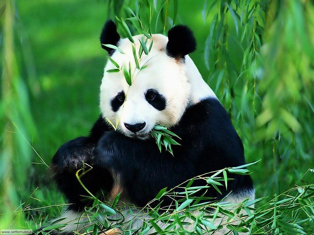 foto di panda per sfondi