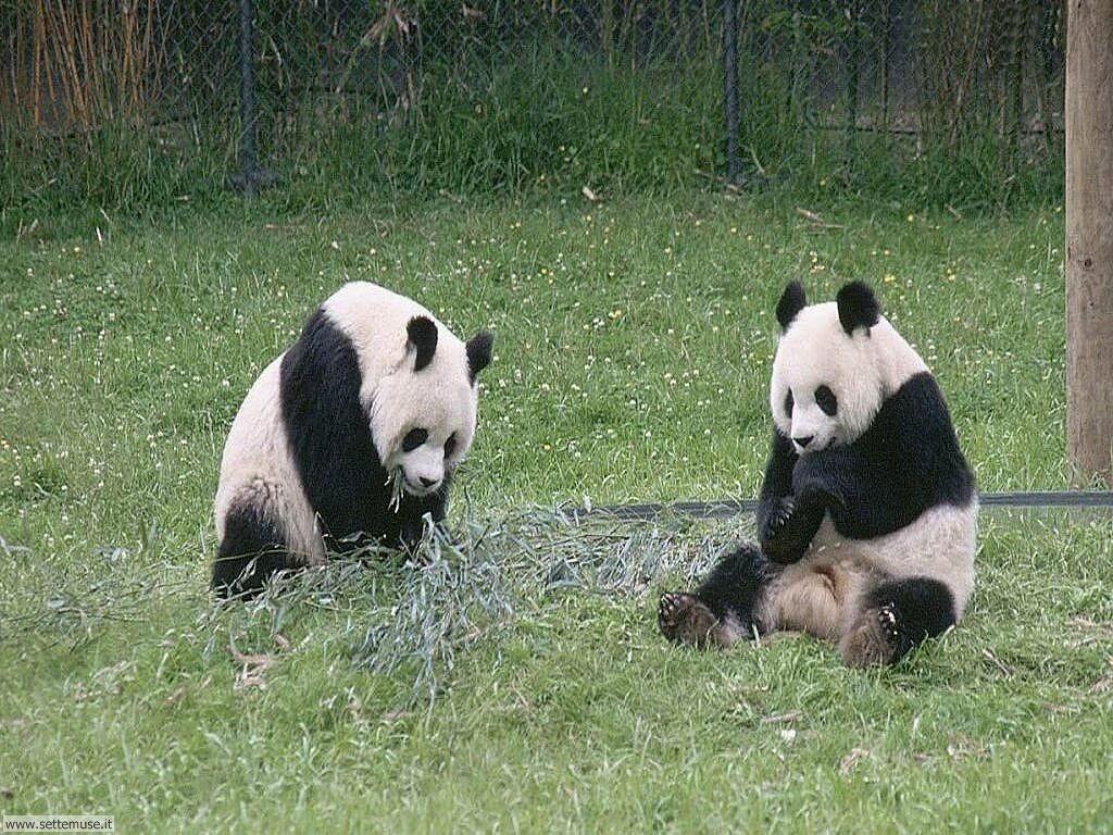 Foto di Panda 003