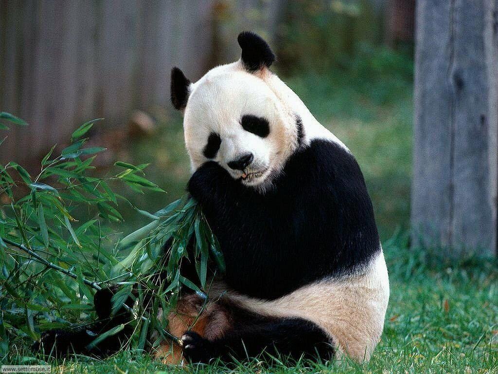 Foto di Panda 005