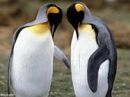 Foto sfondi pinguini