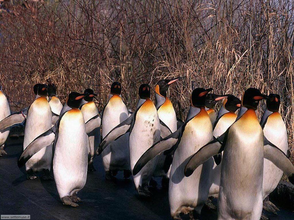 foto di pinguini per sfondi
