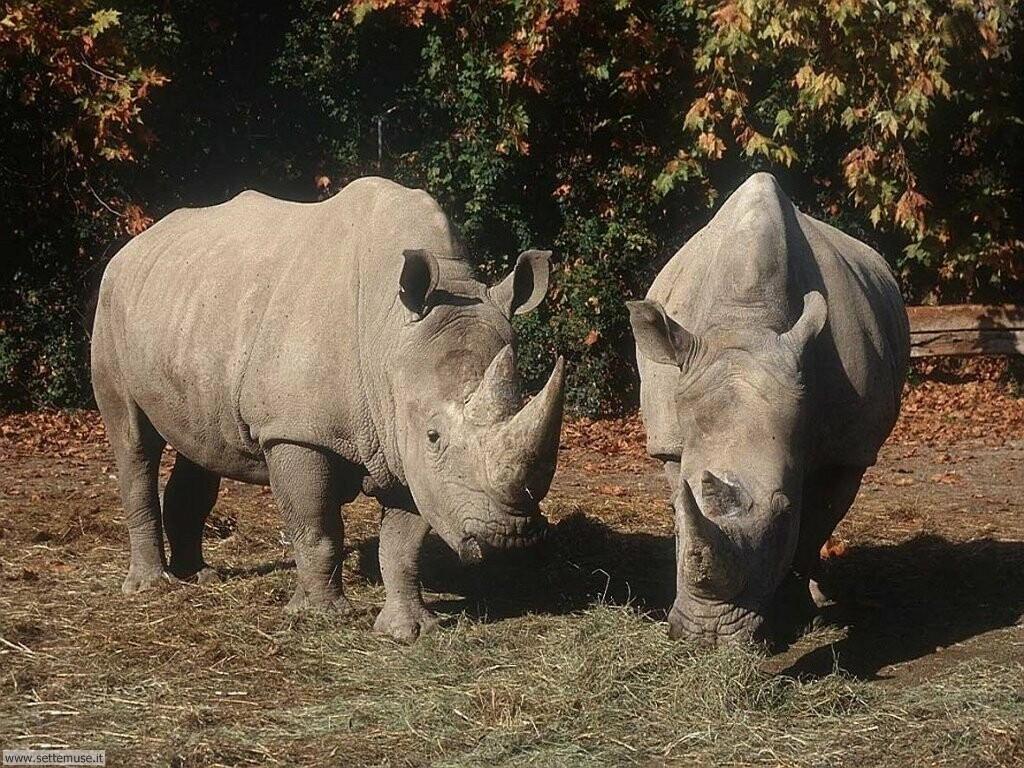 Foto di Rinoceronti 001