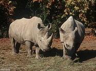 Foto sfondi rinoceronti