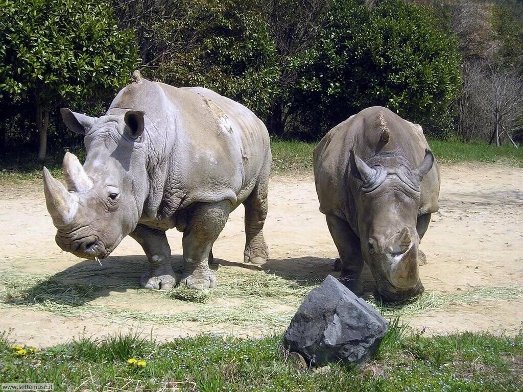 Foto di Rinoceronti 003