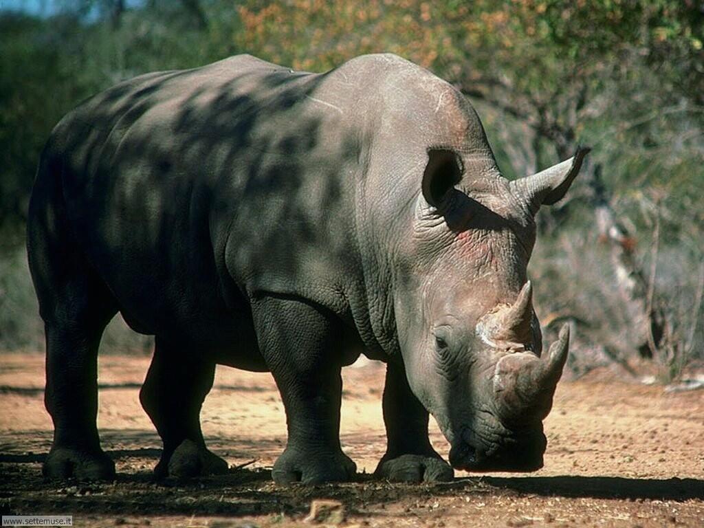 Foto di Rinoceronti 004